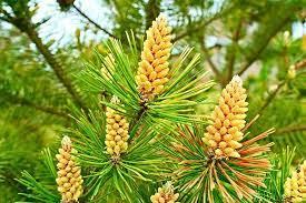 Pine Pollen - Malaysia - ubat - di forum - review