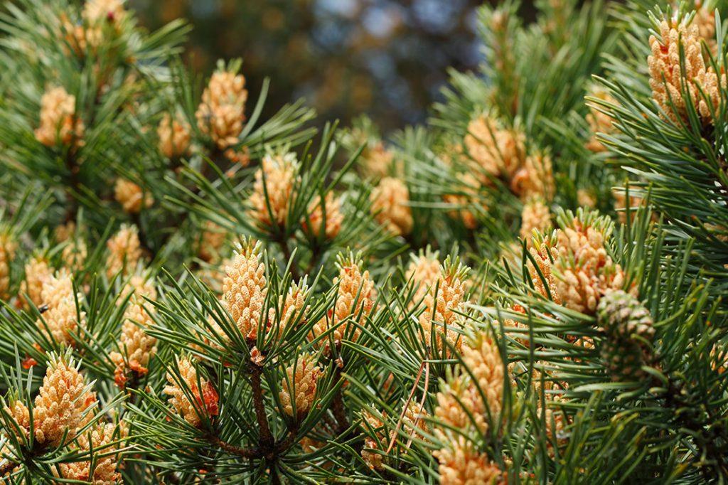 Pine Pollen - web pengeluar? - harga - di farmasi - medicine - di lazada